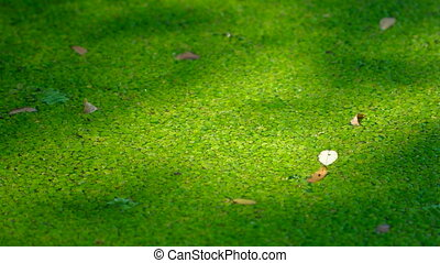 texture of duckweed on the surface of the water - closeup...