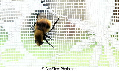Bumblebee creeps on lace curtain