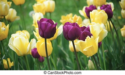 Spring flowers close-up - Spring Flowers Yellow and Violet...