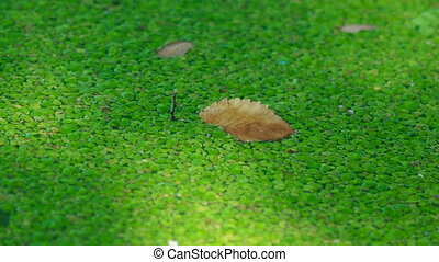 The background of green marsh grass. Duckweed - Swamp algae....