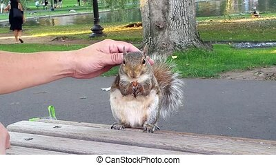 Squirrel eating almond, hand petting from behind.
