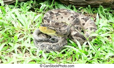 Bothrops asper is a venomous pit viper species ranging from...