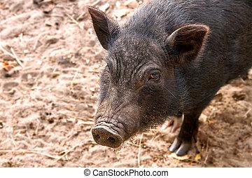 Image of black adult pig snout - a Image of black adult pig...