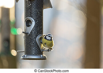Eurasian Blue Tit Bird on Birdfeeder - Eurasian Blue Tit...