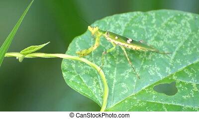 Praying mantis sitting on leaf with natural green...