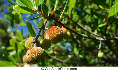 Mediterranean strawberry tree Arbutus Unedo. With space for...