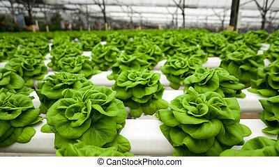 Food production in hydroponic plant, lettuce
