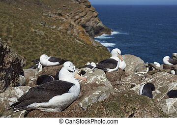 Black-browed Albatross rookery - Black-browed Albatross...
