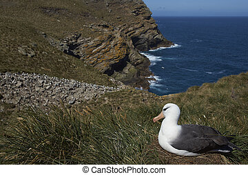 Black-browed Albatross (Thalassarche melanophrys) sitting on...
