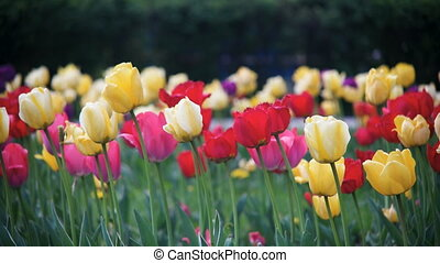 Spring flowers tulips close-up - Spring Flowers Yellow and...