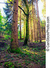 Spruce forest, Slovenia - View of Spruce forest in Ko?evski...