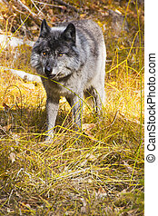 Wild Wolf - Orange Eyes of a Wild Wolf in Banff National...