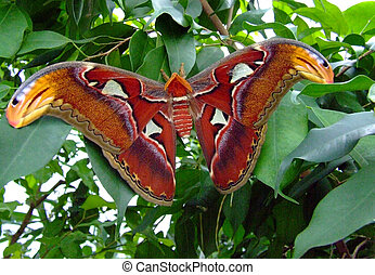 Atlas Moth - Giant Atlas Moth