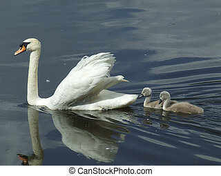 Mute Swan and Cygnets - Mute Swan and cygnets on Roath Park...