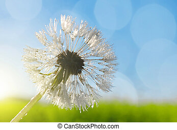Dew drop on dandelion flower, soft focus, nature background.