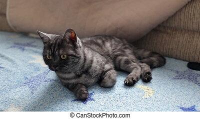 Black smoke British cat