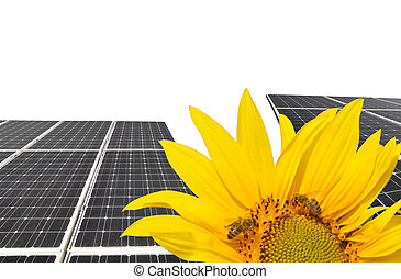 Blooming sunflower in the background solar panels. -...
