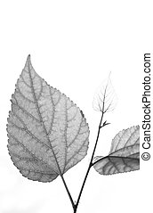 Mulberry leaf black and white tone