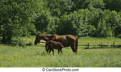 Horse grazing in a meadow - Horses family on a green meadow