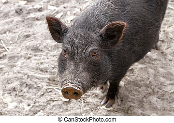 Image of black adult pig snout - a Image of black adult pig...