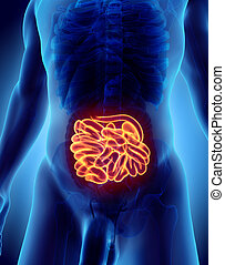 3D illustration of Small Intestine. - 3D illustration of...