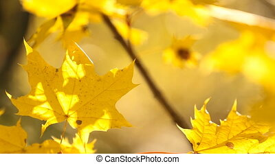 yellow leaves on a small tree lit backlight Sontsya