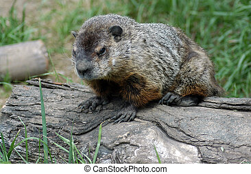 Groundhogs day - A small groundhog comes out to see his...