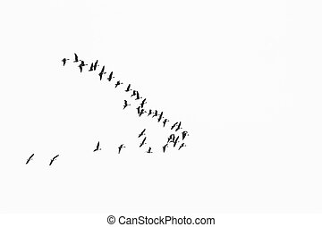 flock of birds migrate to warmer climes / black and white photo