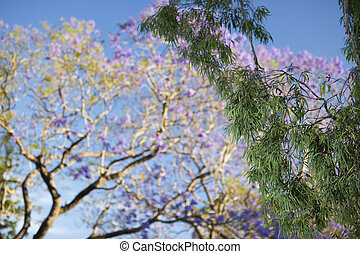 Colourful blooming jacaranda tree - Colourful jacaranda tree...