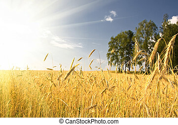 Summer view of ripe wheat