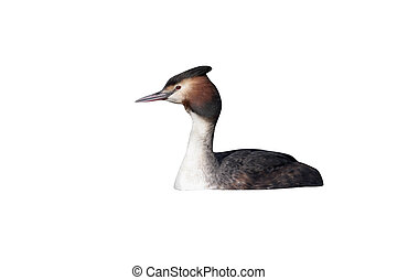 Great-crested grebe, Podiceps cristatus, single bird on...