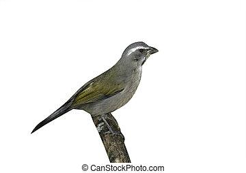 Green-winged saltator, Saltator similis, single bird on...