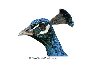 Peafowl, Pavo cristatus, single male bird head shot