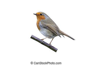 Robin, Erithacus rubecula, single bird on perch