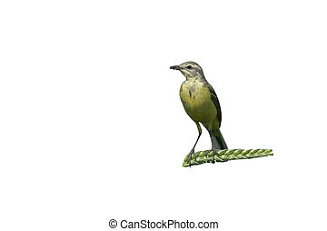Yellow wagtail, Motacilla flava, single female on perch,...