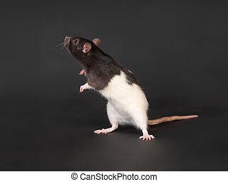 curios domestic rat - portrait of domestic rat on a black...