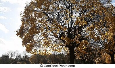 Golden yellow leaves on windy fall day - Sun shining through...