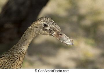 Indian runner duck - Indian Runner duck female close-up