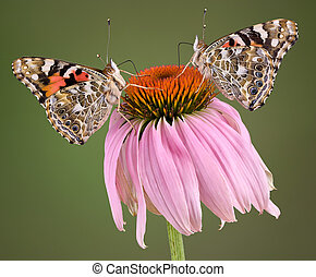 Two Butterflies on Coneflower - Two painted lady butterflies...