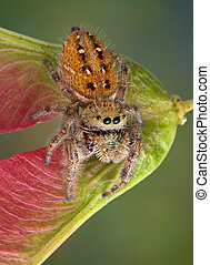 Jumping spider on seed pod - A tiny jumping spider is...
