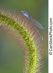 Damselfly on foxtail