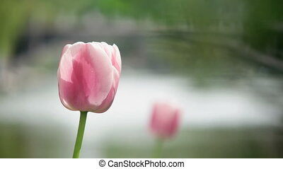 Spring flower tulip in park - Pink tulip on a blurred park...