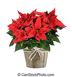 poinsettia plant - Red poinsettia plant in wood vase...
