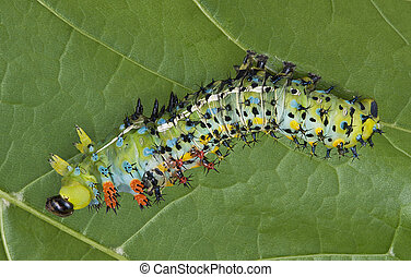 Shedding Cecropia Caterpillar - A cecropia caterpillar is...