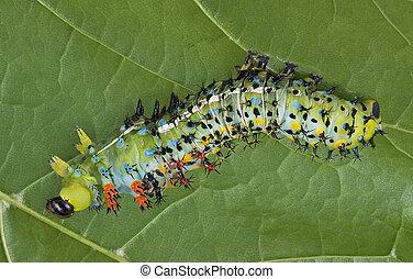 Shedding Cecropia Caterpillar - A cecropia caterpillar is...