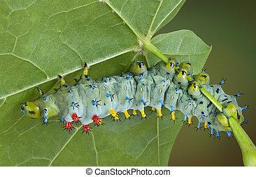 Young cecropia caterpillar