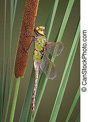 Dragonfly and cattail - A dragonfly is perched on a cattail....