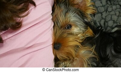 dog Yorkshire terrier sleeping pressed against the back of...
