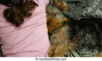Dog Yorkshire terrier sleeping on the bed next to a girl -...