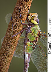 Dragonfly holding cattail